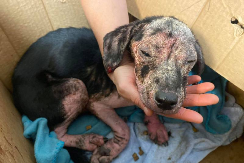 KHS said the puppy had inflamed skin that was swollen from infection, missing fur and was...