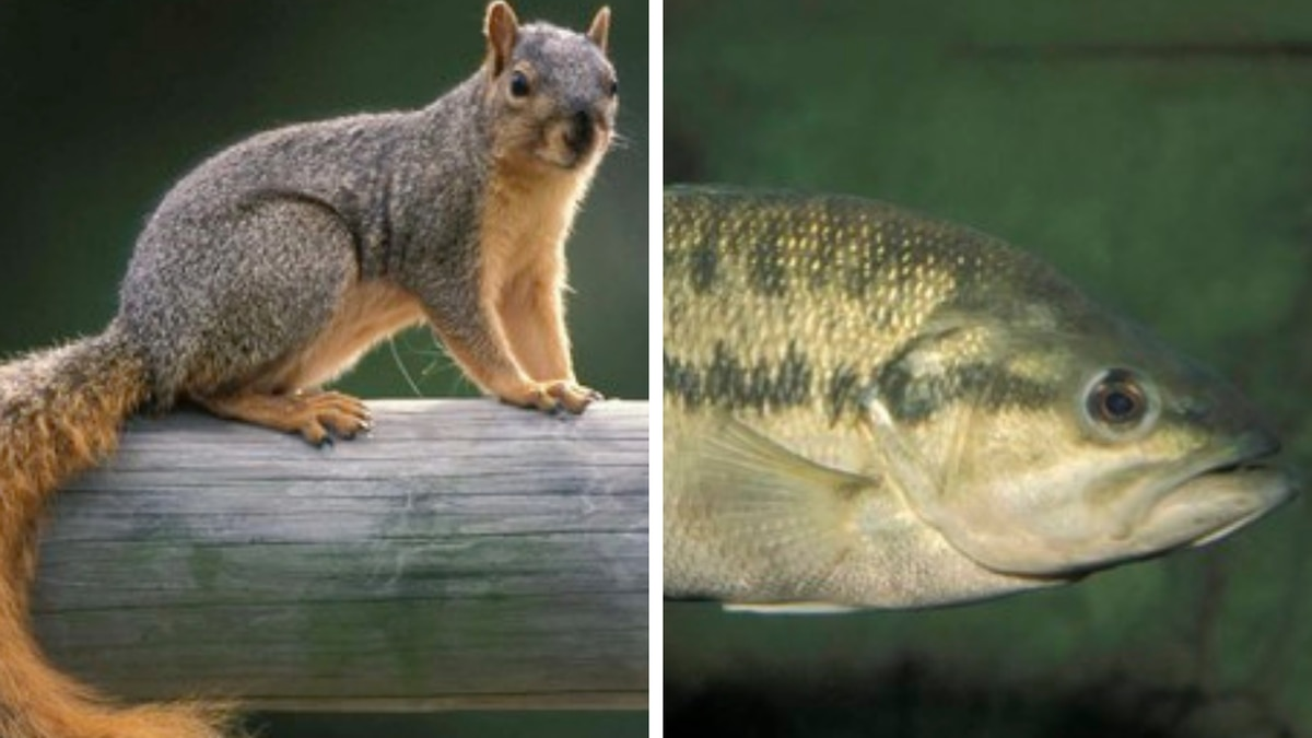The Missouri Department of Conservation (MDC) is reminding everyone that squirrel hunting...