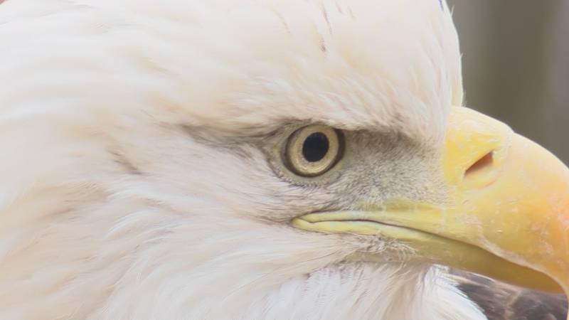 Bald eagles found in southeast MO will not fly right now.