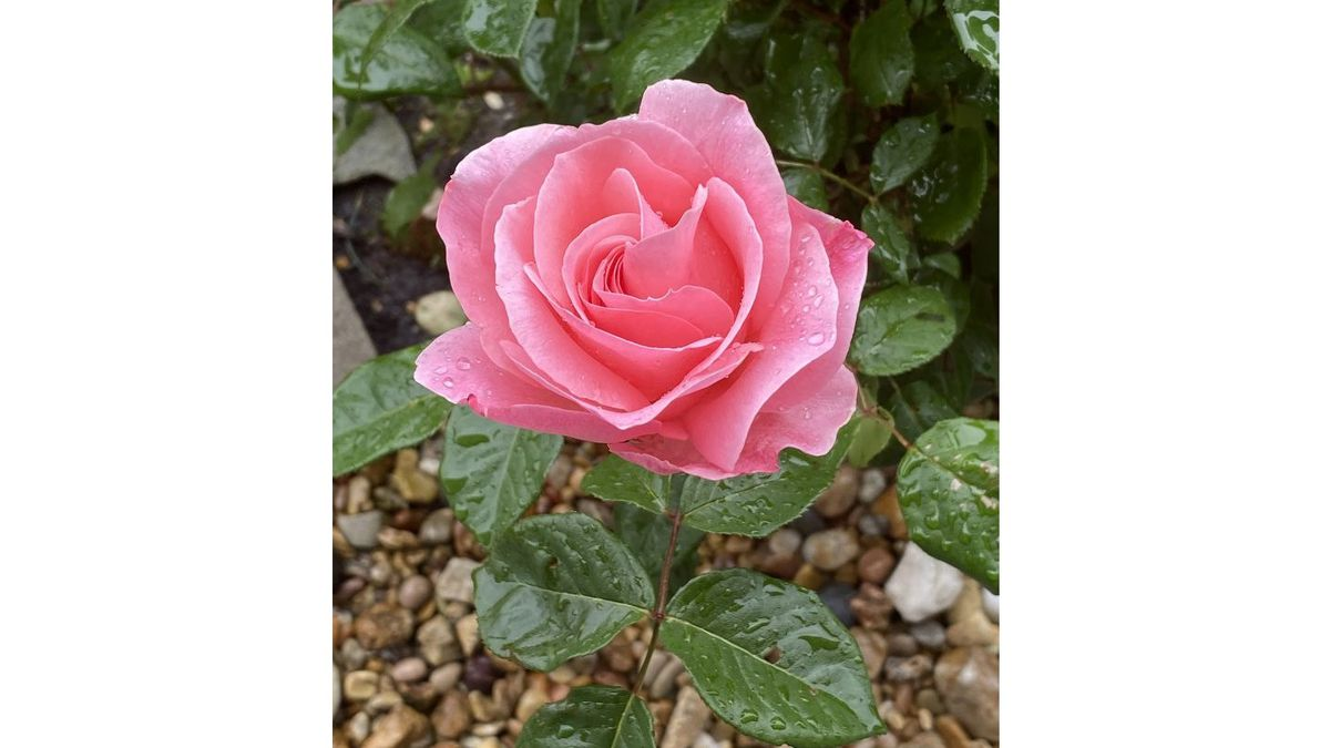 A beautiful pink rose soaking up the rain.   (Source: cNews/Danny Nelson)