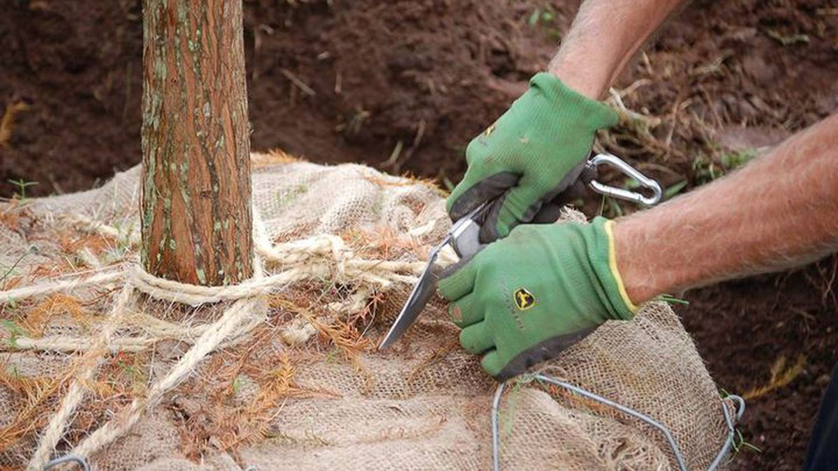 Myrtle Beach staff will plant 52 trees in the downtown area Tuesday morning.