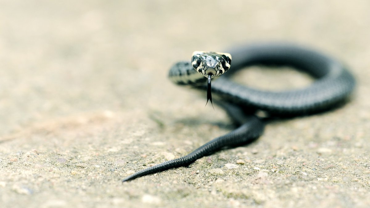 Snakes in southern Illinois will begin slithering into hibernation, so the forest service is...