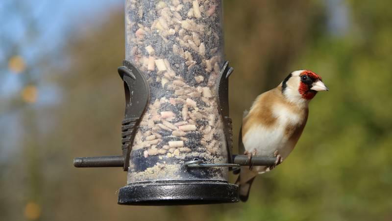 An American goldfinch seen on a bird feeder.