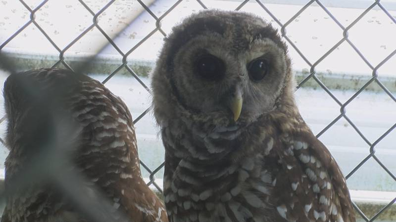 Watkins Wildlife Rehab is based just north of Sedgewickville and has had more than 50 years of...
