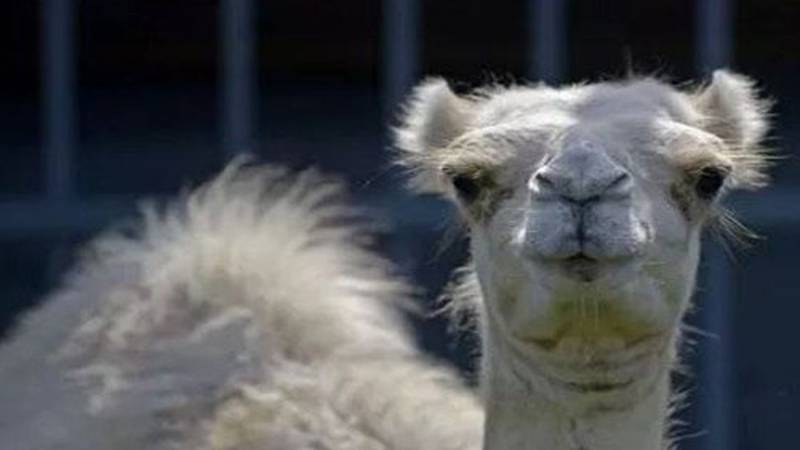 Caspar the camel has been living in the enclosure at the I-10 truck stop in Grosse Tete since...