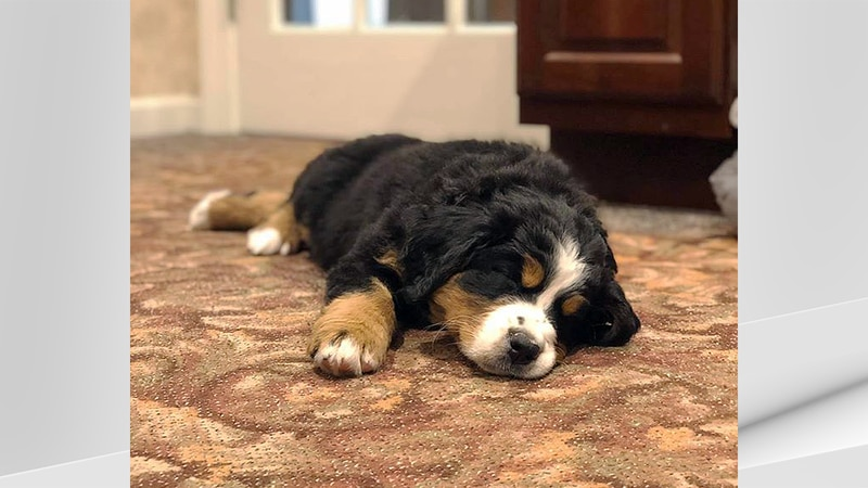 """""""The Bernese Mountain Dog is a very loyal, affectionate and gentle animal, and has always been..."""