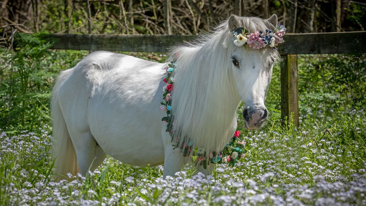 Waffle the mini horse is 10 years old and was surrendered to the Humane Society of Missouri's...