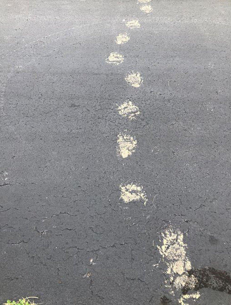 Bear tracks in Henderson