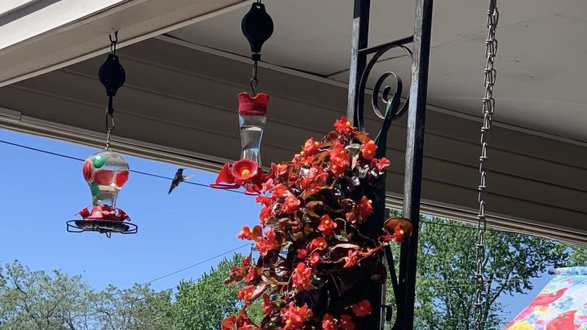 Many in the Heartland are starting to see their first humming birds this spring.  (Source:...