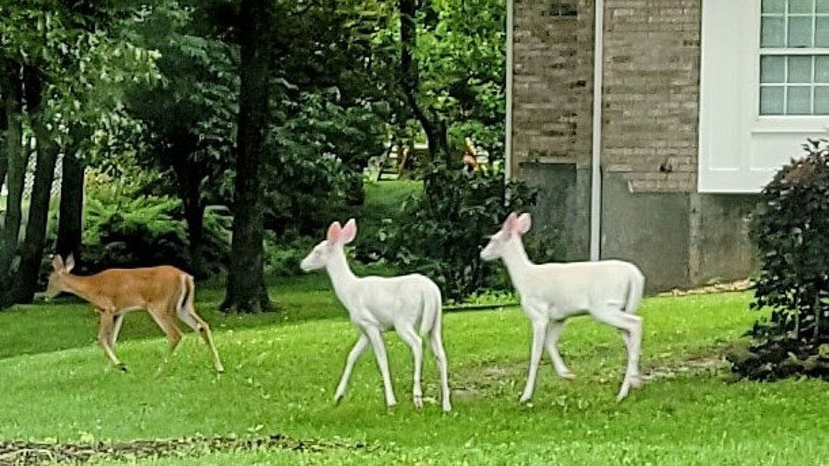 Other albino deer spotted in Cape Girardeau, Mo.