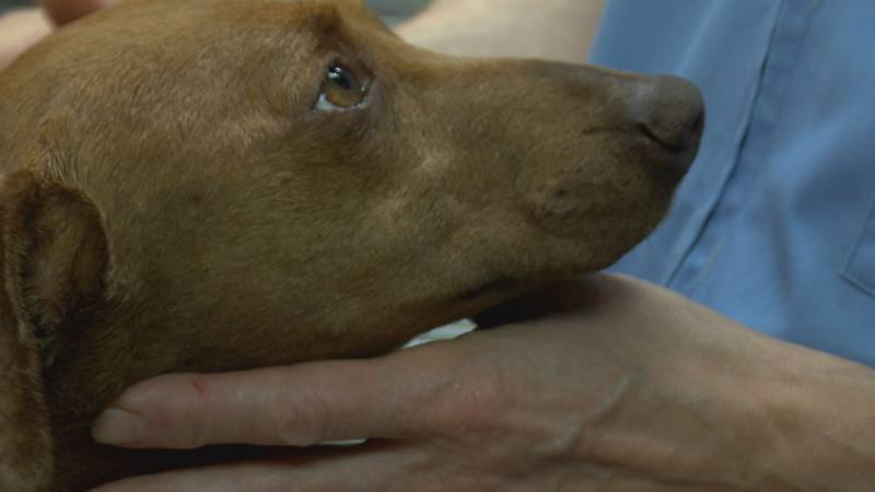 After a dramatic dog rescue in the bootheel, a young pup is on the road to recovery after...