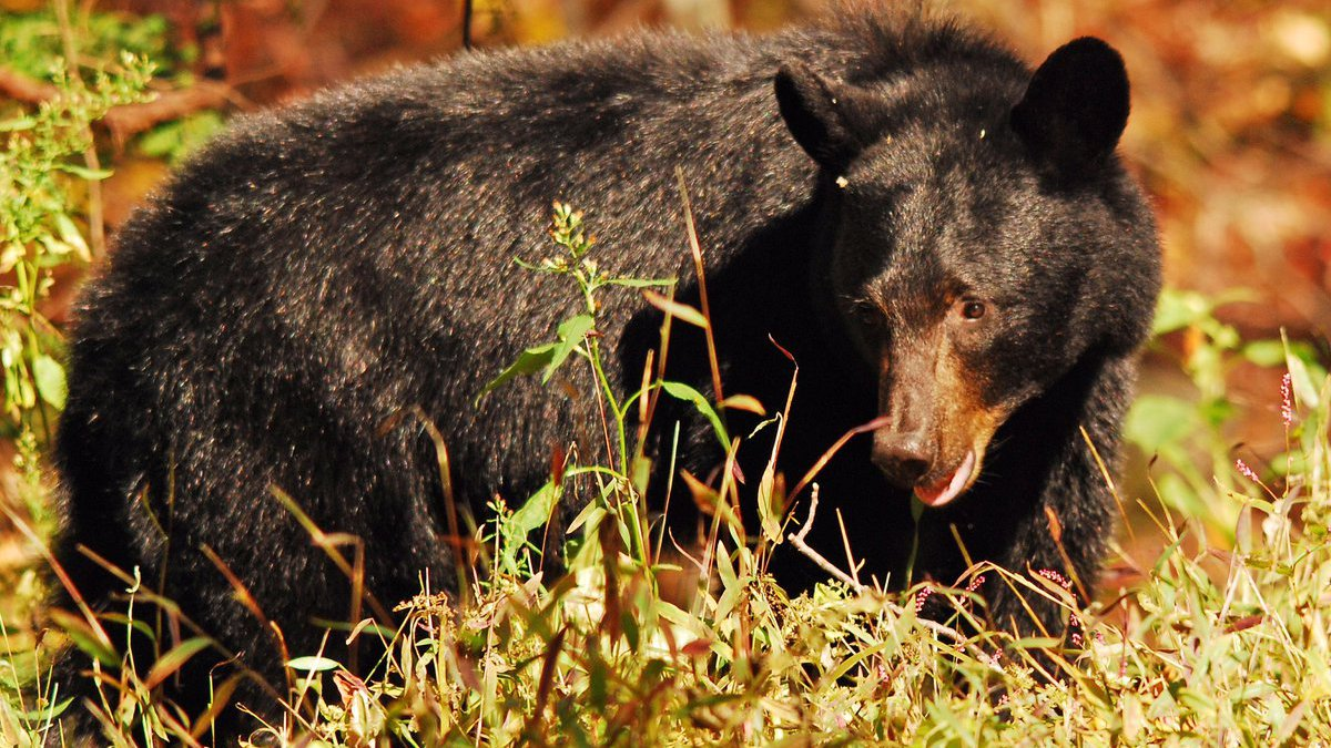 Officials estimate 1,500 bears are in Great Smoky Mountains National Park along the...