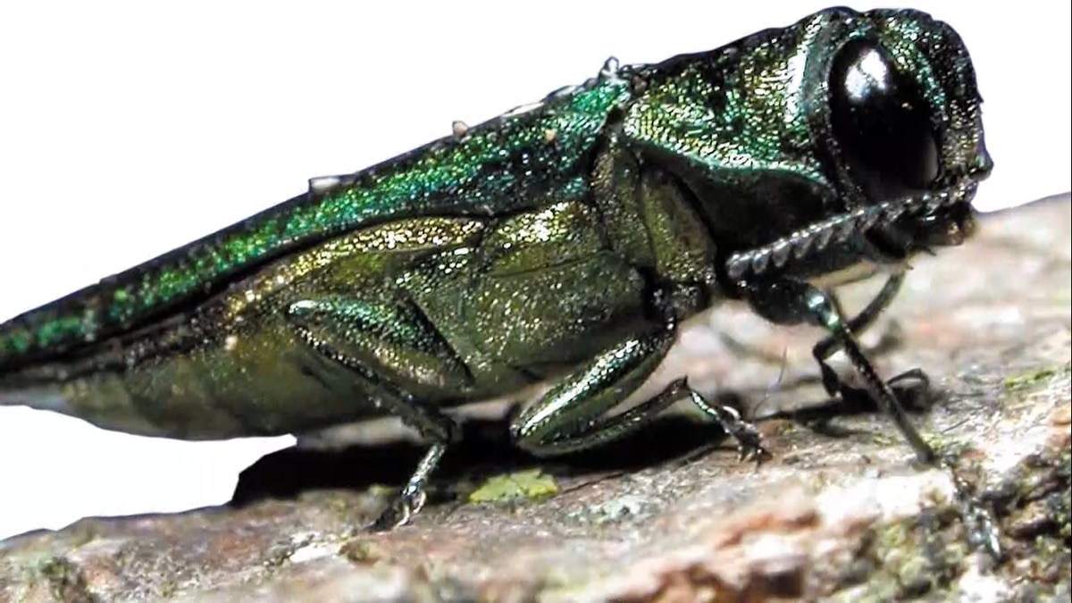The borer is a small, metallic green, invasive beetle from Asia.