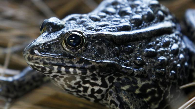 FILE - This Sept. 27, 2011 file photo shows a gopher frog at the Audubon Zoo in New Orleans....