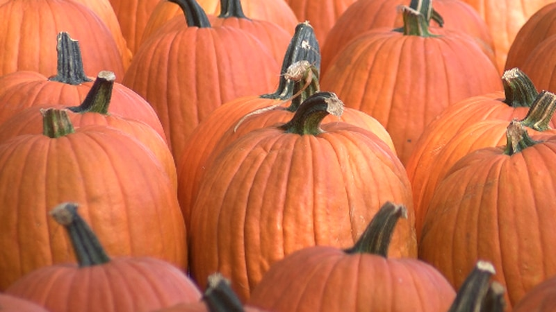 Southern Illinois pumpkin patch ready for a good crowd and crop this season.